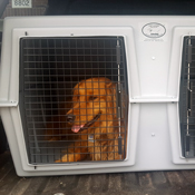 EZ XL Kennel with lab in use
