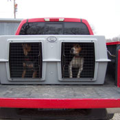 Two Dogs in an Easy Loader Kennel in the Back of a Truck