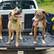 Delta, Angel, and Candy enjoy riding in their Easy Loader Kennel for squirrel and racoon hunting trips.
