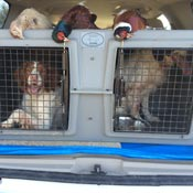 Two Hunting Dogs in an Easy Loader Kennel in an SUV