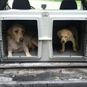 Yellow lab and puppy in an Easy Loader Kennel