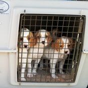 A kennel can transport a whole litter of puppies!